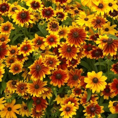 Black Eyed Susan Seeds (Dwarf) - Rustic Mix - Packet, Summer and Fall/Burgundy-Orange Blooms, Flower Seeds