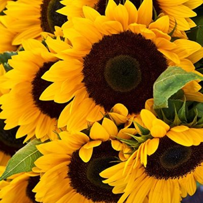 Sunflower Seeds - Mammoth Grey-Stripe - Ounce, Yellow Flowers