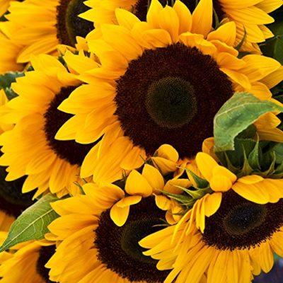 Sunflower Seeds - Mammoth Grey-Stripe - Ounce, Yellow Flowers